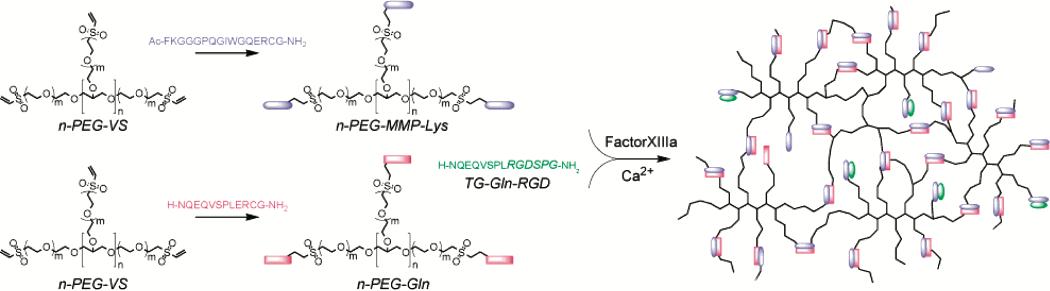 Enzymatic-Crosslinking